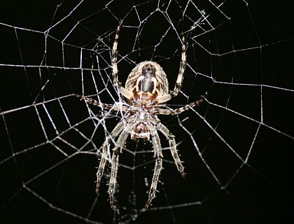 Garden spider in the middle of its web. Photo: Max Planck Institute for Microstructure Physics