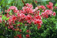 The Indian Azalea (Rhododendron simsii), very popular amongst Europeans as a cultivated house plant, also stems from China. Photo: Helge Bruelheide